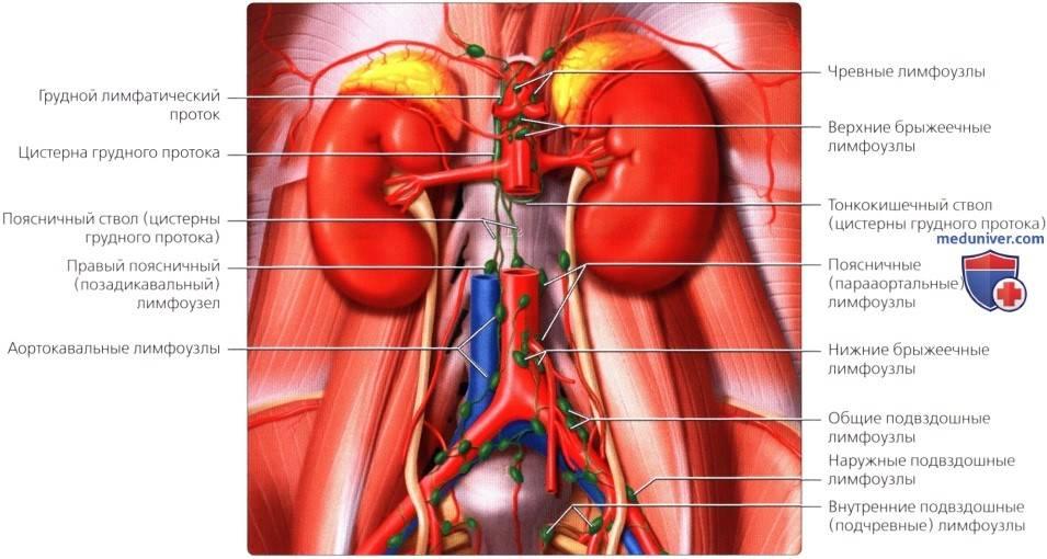 Лимфоузлы. лимфатическая система и ее заболевания и лечение.!