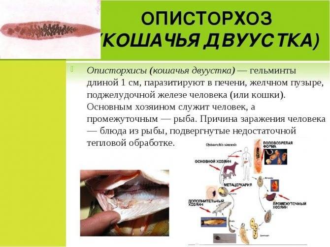 Описторхоз у детей - симптомы болезни, профилактика и лечение описторхоза у детей, причины заболевания и его диагностика на eurolab