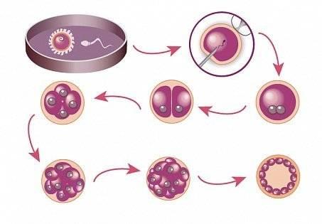 Качество эмбрионов, полученных при экстракорпоральном оплодотворении, стадии развития эмбрионов и скорость их роста