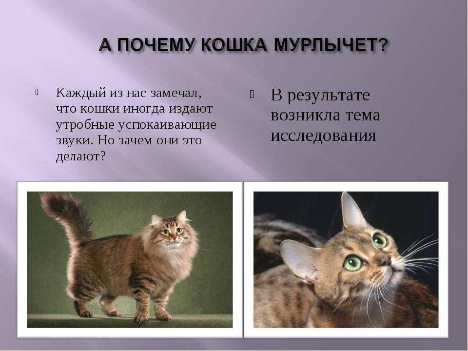 Почему и как мурлыкают кошки: причины мурчания, польза для человека