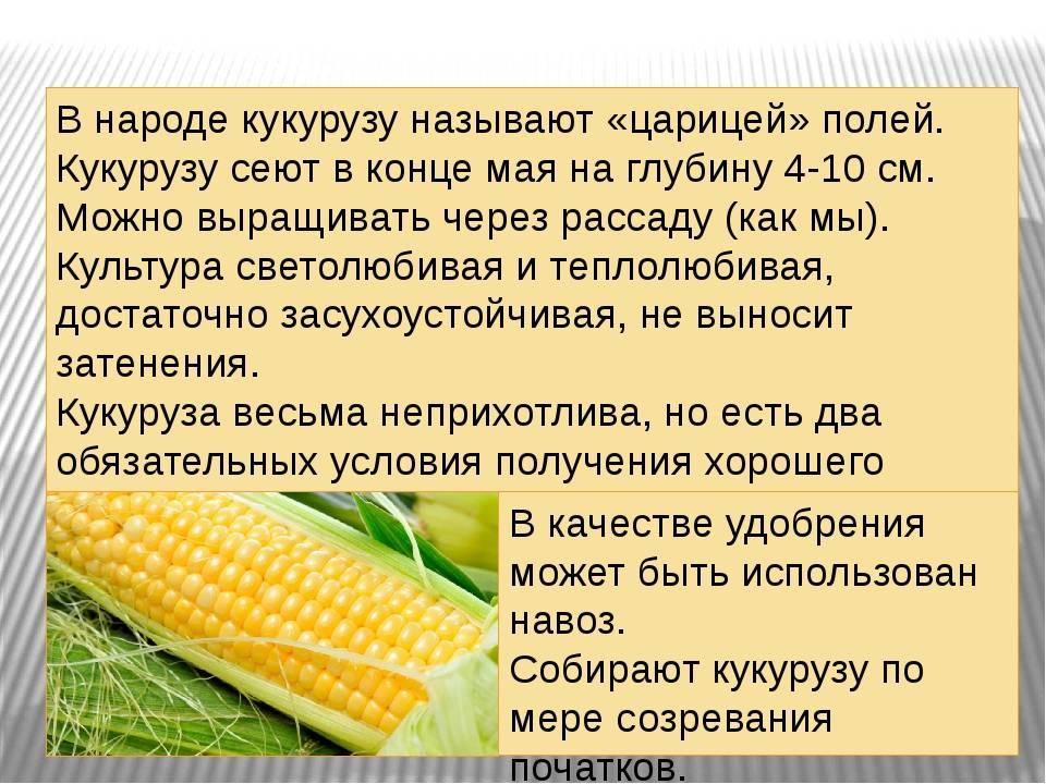 Можно ли детям кукурузу, и в каком виде? знакомим малыша с «царицей полей»