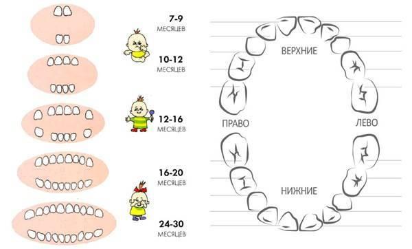 Порядок прорезывания зубов у детей, сроки прорезывания молочных зубов | colgate
