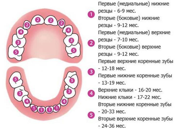 Прорезывание коренных зубов у детей