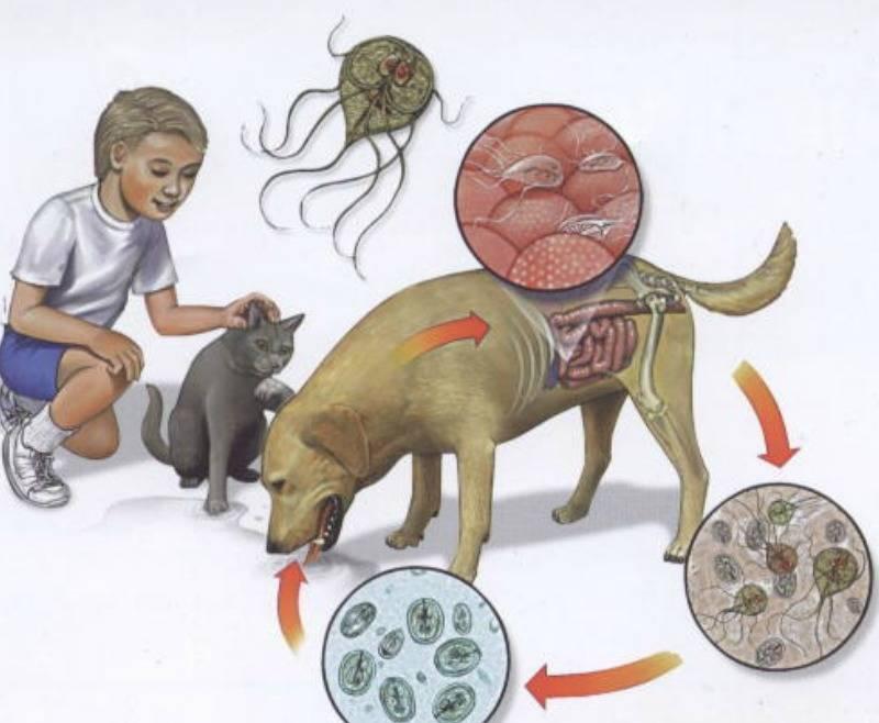 Лямблиоз. симптомы, профилактика, лечение