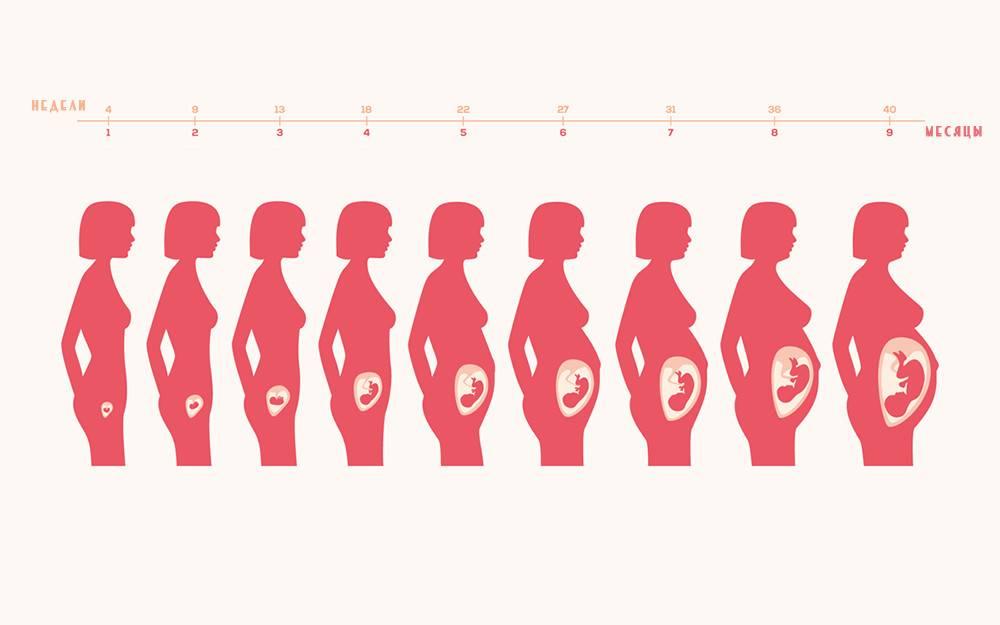 Форма и размер матки во время беременности