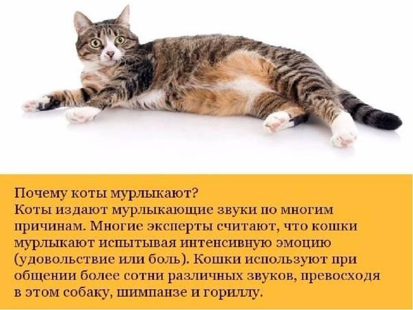 Почему кошки мурлыкают — ответ на вопрос ребенка 3-5 лет