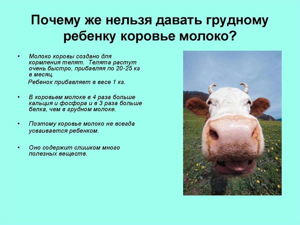 Можно ли давать коровье молоко детям до года