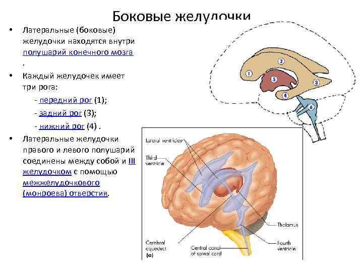 Анатомия боковых желудочков мозга человека - информация: