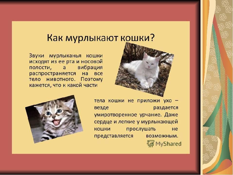 """Почему кошки мурлыкают, может ли у кота сломаться """"урчальник"""" и что означает мурлыканье?"""