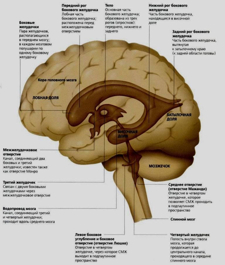 Строение и функции желудочков головного мозга — блог викиум
