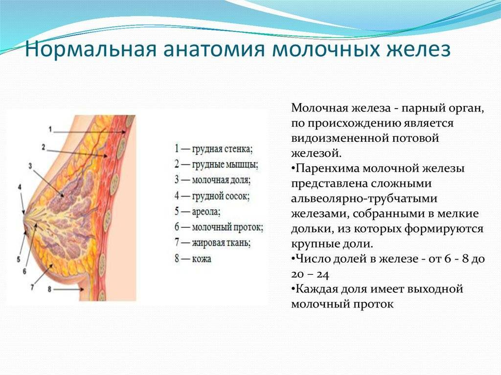 Строение и особенности работы молочных желез. анатомия груди женщины.