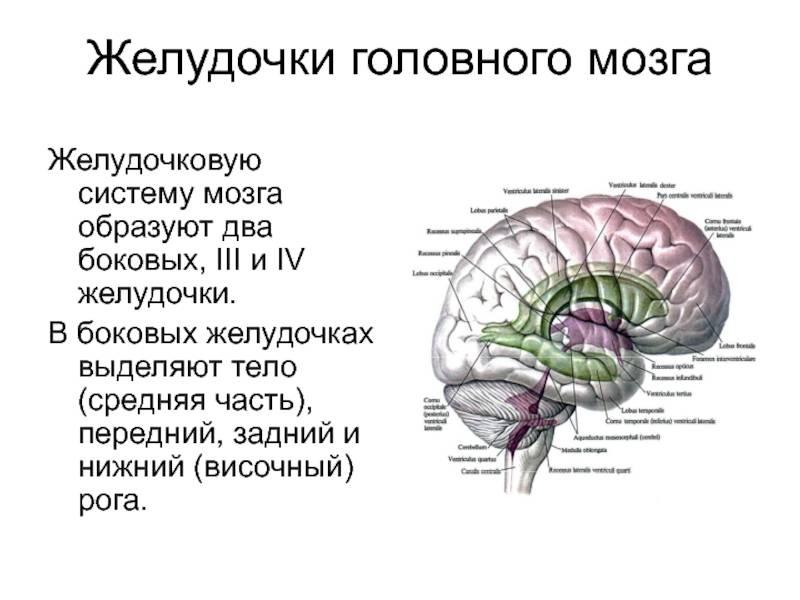 Размеры желудочков головного мозга у взрослых норма мрт