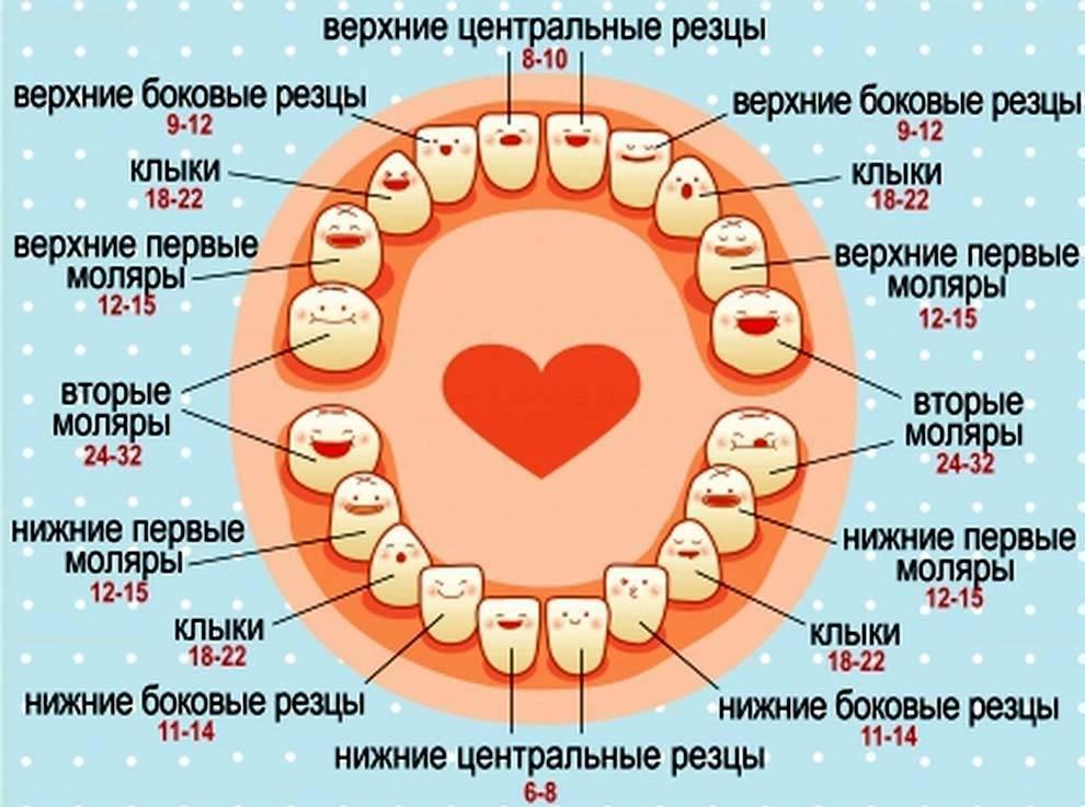 Коренные зубы у детей | cтомус