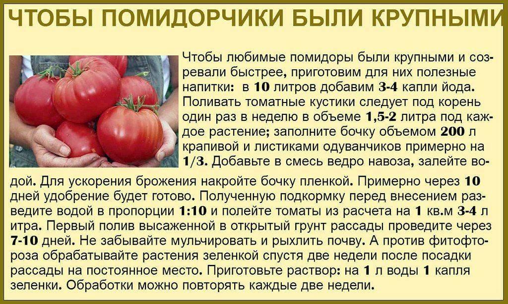Правильная подкормка помидоров в теплице: как, когда и чем?