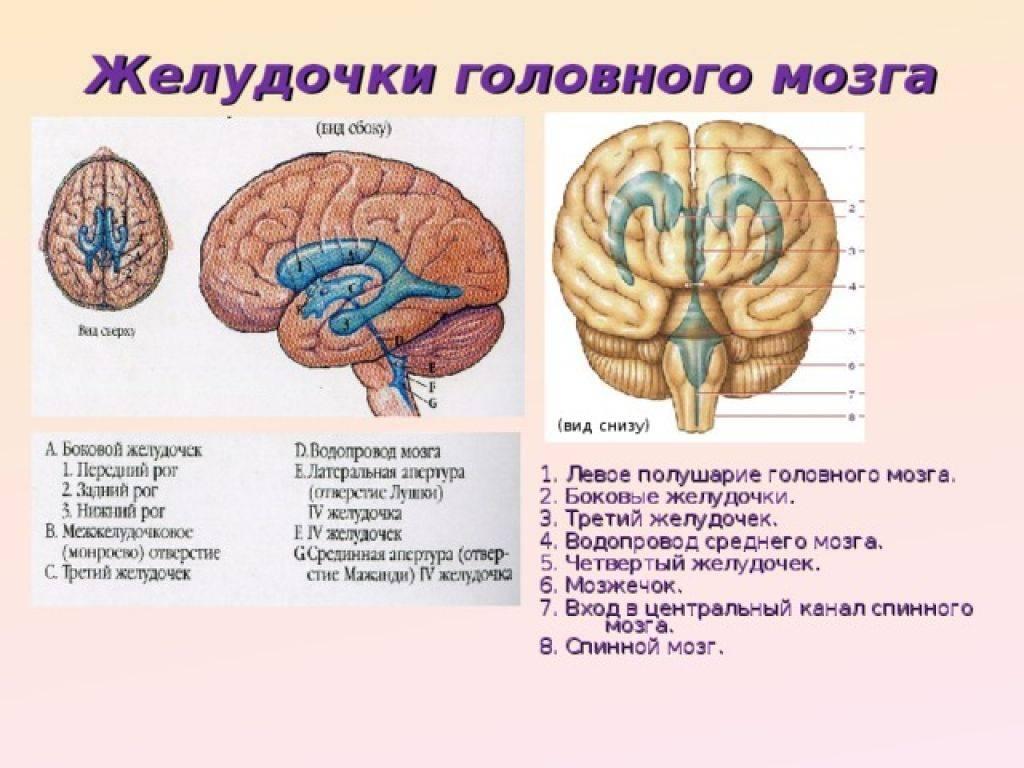 Патогенез — дисциркуляторная энцефалопатия  — цереброваскулярные заболевания — справочник нозологий— перечень нозологий