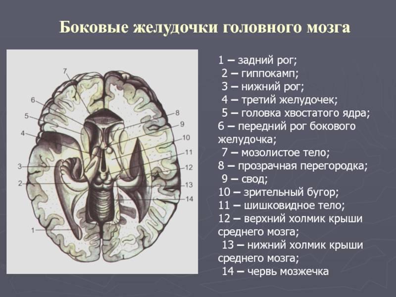 Боковые желудочки мозга человека | анатомия боковых желудочков мозга, строение, функции, картинки на eurolab