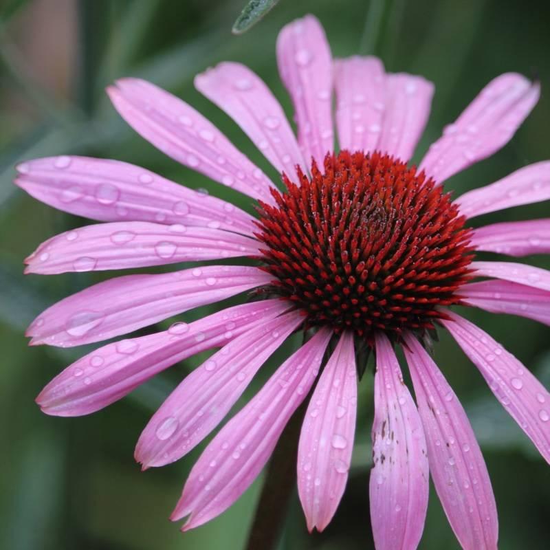 Эхинацея – лечебные свойства, противопоказания и отзывы