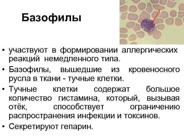 Базофилы в крови