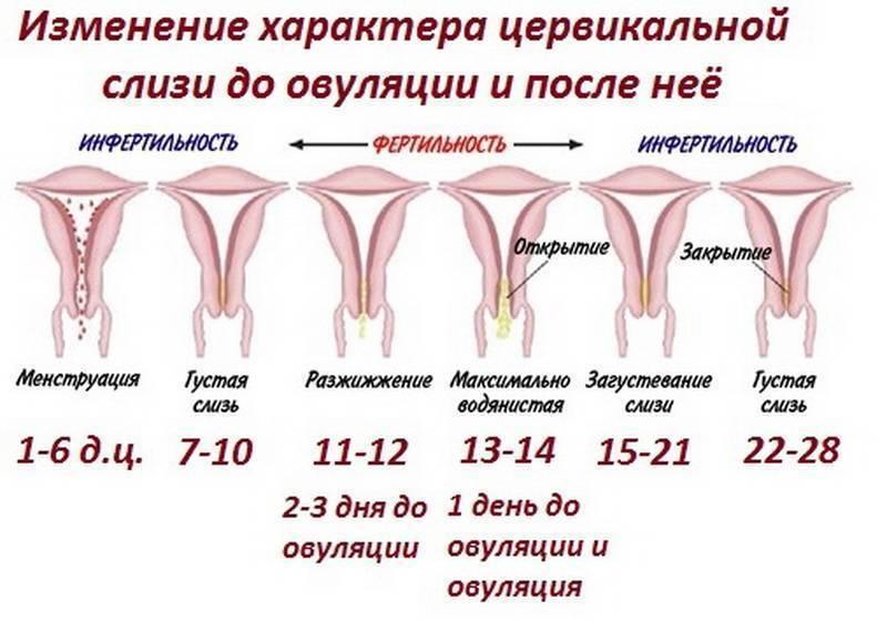 Шейка матки после родов