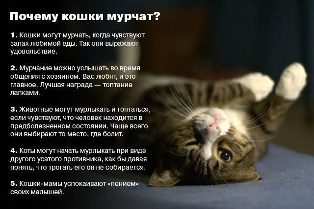 Почему кошки часто мурлыкают, когда их гладят