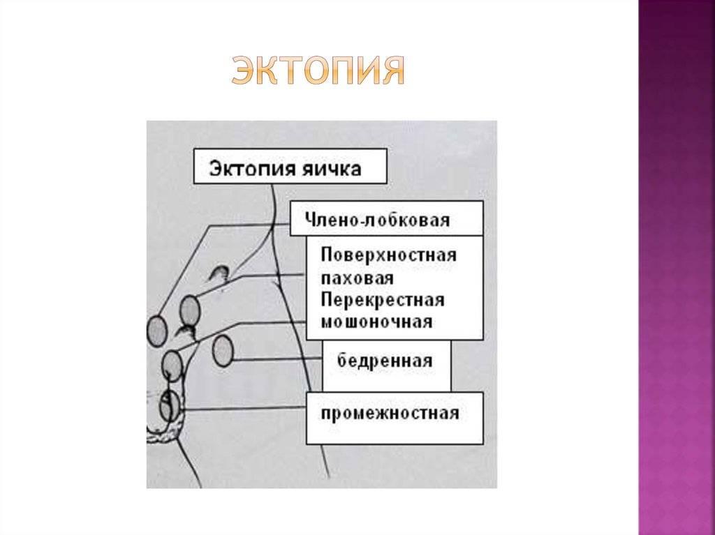 Крипторхизм у собак, операция - стоимость в zoostatus ru