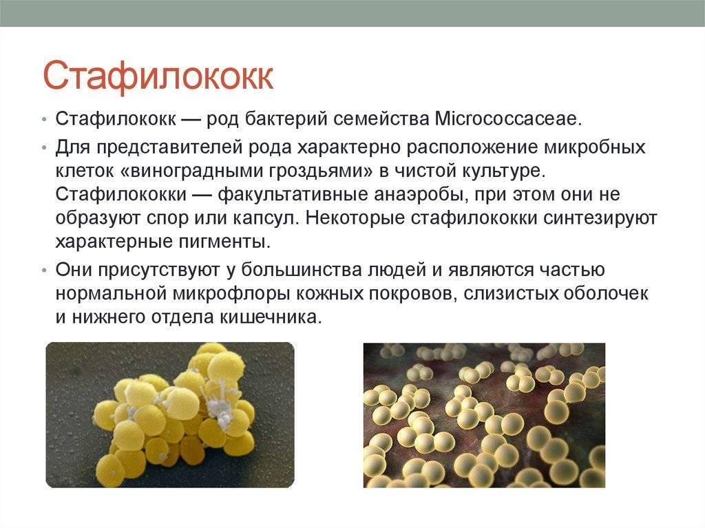 Стафилококк, золотистый стафилококк - симптомы стафилококка, диагностика, лечение | eurolab | инфекционные болезни