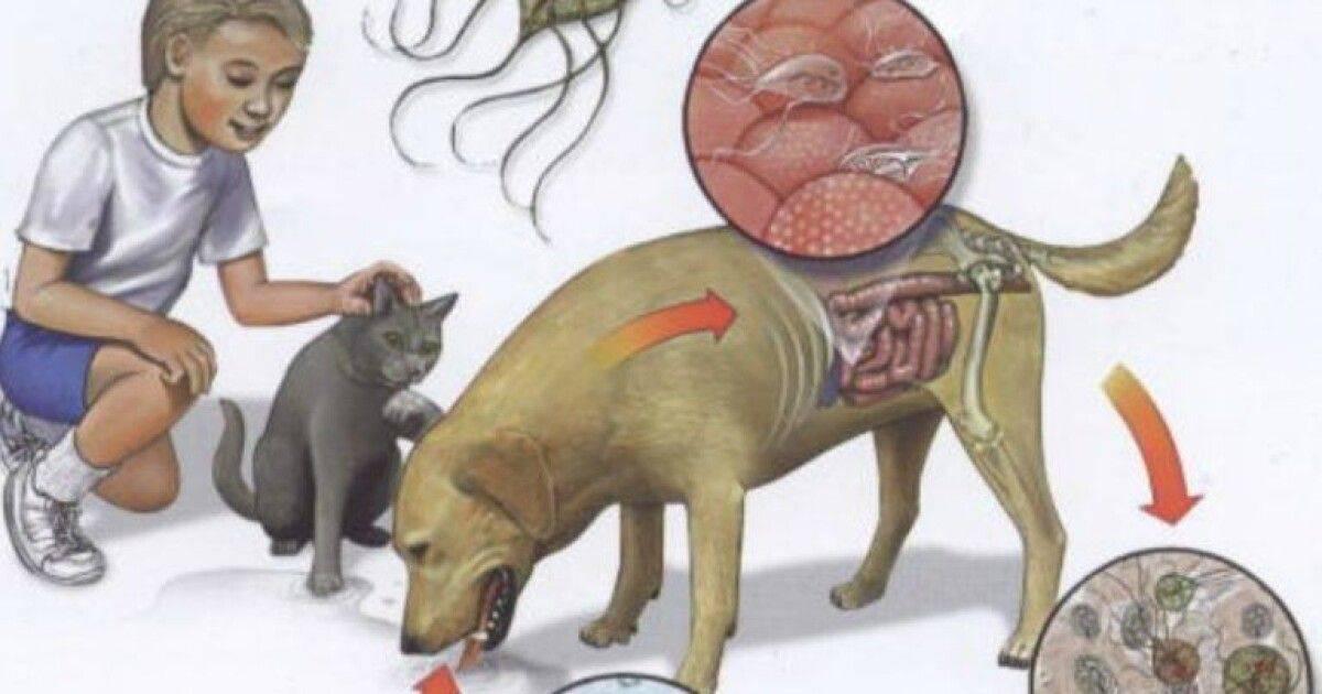 Дирофиляриоз у собак и кошек