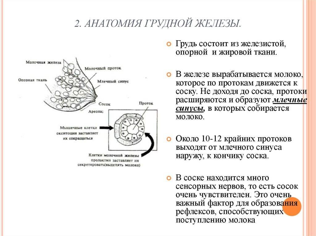 Анатомия молочной железы коровы: строение и особенности вымени