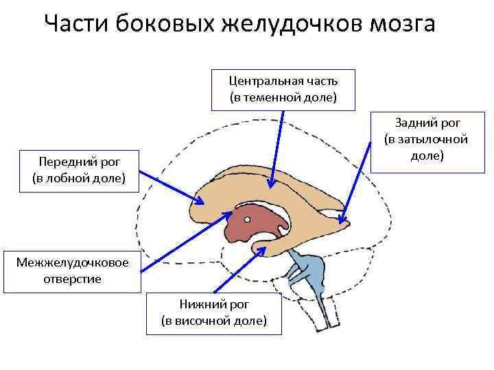 Сосудистые сплетения головного мозга — большая медицинская энциклопедия