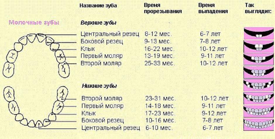 Зубы у детей: порядок прорезывания молочных и коренных элементов, схема, как они прорезываются у ребенка, сроки, возраст и симптомы для грудничков и малышей до года