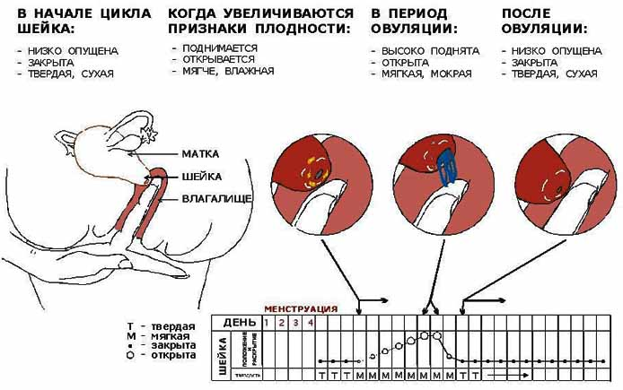 Матка - женские половые органы