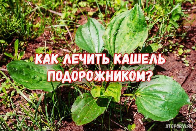 Подорожник-трава: любимое «лекарство» из детства   читайте в журнале столетник